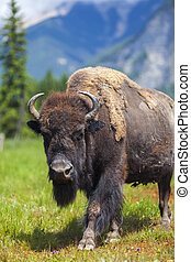norteamericano, bisonte, o, búfalo