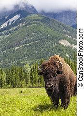 amerykanka, bizon, Albo, Bawół