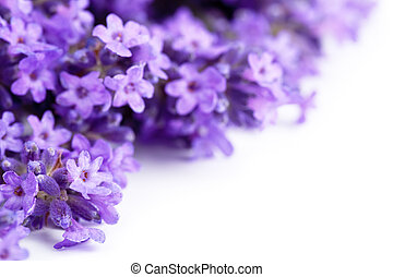 Lavender Flowers - Lavender flowers on white background Copy...