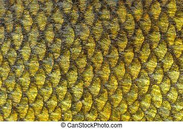 Real Tench Fish Scales Background - A close-up of tench fish...
