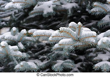 Blue Spruce Branches with Snow in Winter