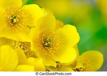 Yellow Kingcup (Marsh Marigold or Caltha Palustris) Flowers...