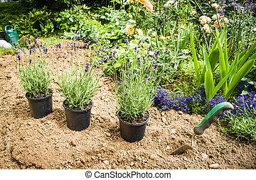 Garden - Work in garden-lavender ready for planting