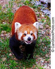 Red panda Ailurus fulgens fulgens