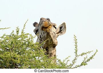 Giraffe Giraffa camelopardalis - A Giraffe Giraffa...
