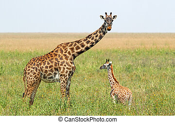 Baby giraffe and mother - A young giraffe and his mother...
