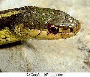 Garter Snake - Closeup macro shot of a garter snake head.