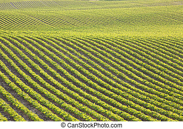 Rows of young soybeans in afternoon sunlight - Undulating...