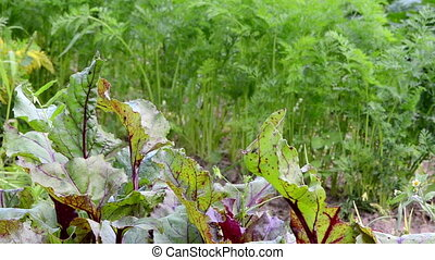 beetroot carrot leaf