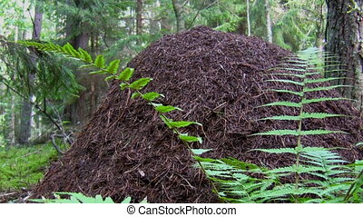 Anthill in the forest - Zoom in big ant hill in the forest