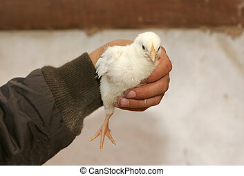 brand new chick - a small newborn chick being held in...
