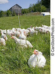 white chickens - a flock of white farm chickens outside near...