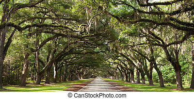 Live Oaks - Live oak trees beside a road.
