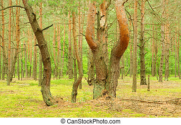 The pine of the freakish form grows on a place of a...