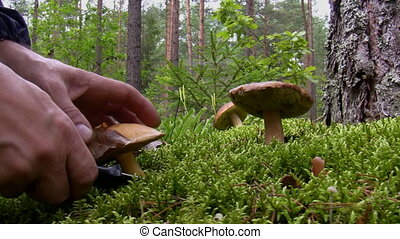 Blueing bolete mushroom picking