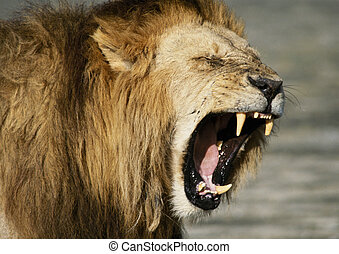 Lion baring fangs,focus on head - Africa, Kenya,lion baring...