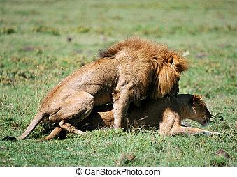 Lions coupling - Africa, Tanzania, lions coupling