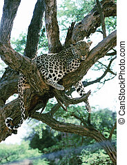 Leopard lying on tree branches - Africa, Namibia, leopard...