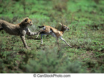 Cheetah pursuing baby gazelle - Africa, Tanzania, cheetah...
