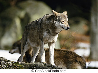 Wolf - Europe, Germany, wolf
