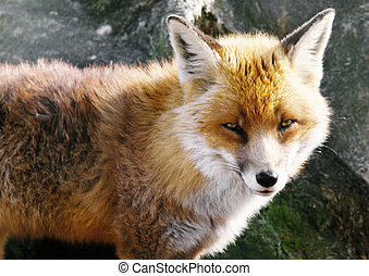 Fox, focus on head - Europe, Scotland, fox, focus on head