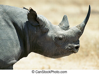 Rhinoceros, focus on head - Africa, Tanzania, rhinoceros,...