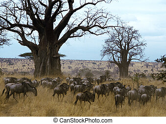 Herd of wildebeests - Africa, Tanzania, herd of wildebeests...