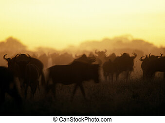 Herd of wildebeests - Africa, Tanzania, herd of wildebeests