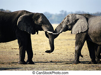 Two elephants face to face - Africa, Botswana, two elephants...