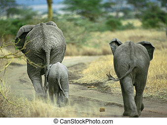 Adult elephants and baby elephant - Africa, Tanzania, two...