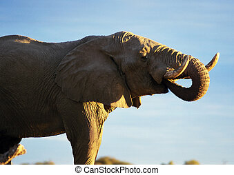 Elephant with trunk in mouth - Africa, Botswana, elephant...