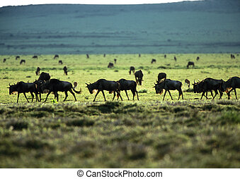 Herd of wildebeests on grassy plain - Africa, Tanzania, herd...