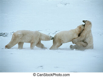 Three polar bears in snow - Canada, three polar bears in...
