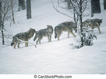 Wolves in snow-covered forest - Europe, Germany, wolves in...