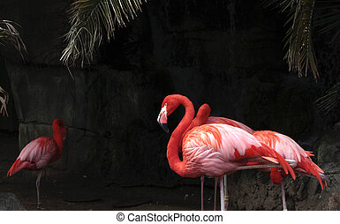 Flamingos - Flamingo flock against a dark rock background