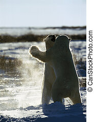 Polar bears fighting on ice floe - Canada, two polar bears...