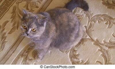 cat sits on the carpet - cat sits on the carpet and looking...