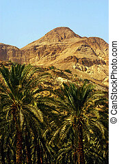 Judea Desert - Israel - A grove of palm trees in Ein Gedi...