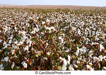 Cotton Fields - Landscape of cotton fields in south israel