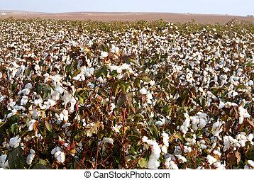 Cotton Fields  - Landscape of cotton fields in south israel.