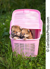 Two Pomeranian puppy in a pink crate
