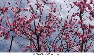 peach tree blossoms very delicate flowers on a clear Sunny...