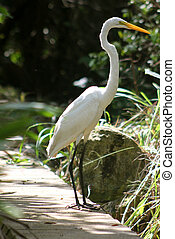 Great Egret (Ardea Alba) - A Great Egret (Ardea Alba)...