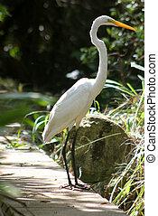 Great Egret (Ardea Alba) - A Great Egret (Ardea Alba)...