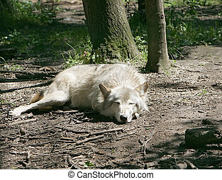 let sleeping wolves lie - one light colored wolf sleeping...