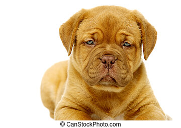 Dogue De Boudeux Puppy Close Up Isolated on a white background