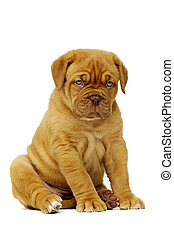 Dogue De Boudeux Puppy Isolated on a white background - Cute...