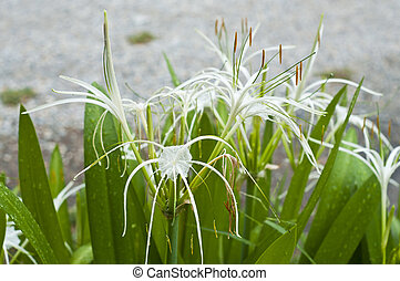 White star lily. - White star lily in garden.