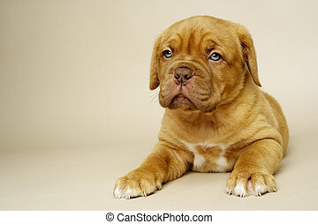 Dogue De Boudeux Puppy laid on a cream background - Cute...