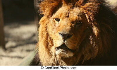 King of beasts. - Male lion having rest in his zoo open-air...